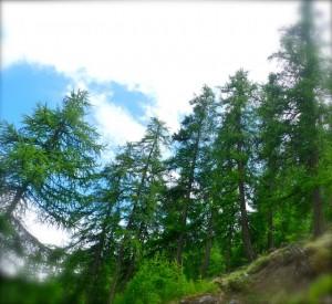 Forêt de mélèzes dans les Hautes-Alpes