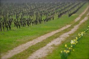 Vigne en Anjou