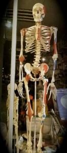 Squelette londonien