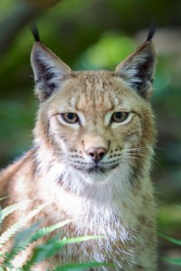 Lynx © Eric Travers Galatee Films