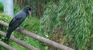 Corbeau à gros bec. Kumano Kodo. Japon.
