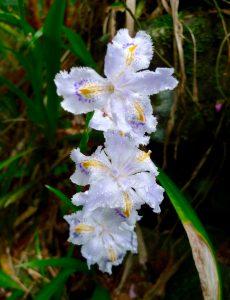 Iris sauvage.