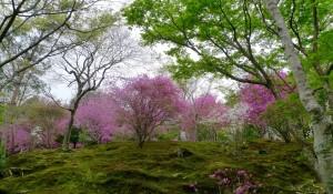 Azalées à Tenryu-ji. Arashiyama.